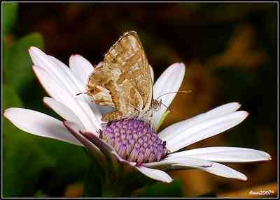Geranium-geranium_bronze_butterfly