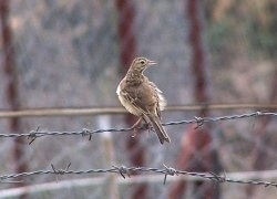 Richards-pipit