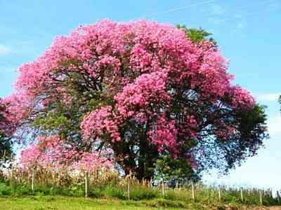 Silk-silk_floss_tree_in_bloom