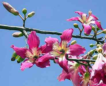 Silk-pink_flowers
