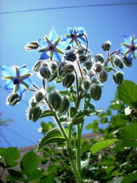 Borage.jpg-for-web-large
