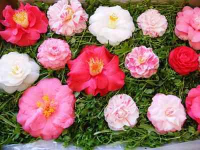 Camellias-10