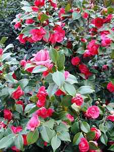 Camellias-8