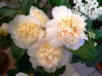 Camellias-9