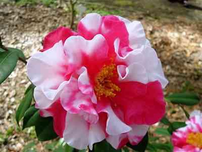 Camellias-5