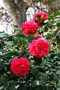 Camellias-6