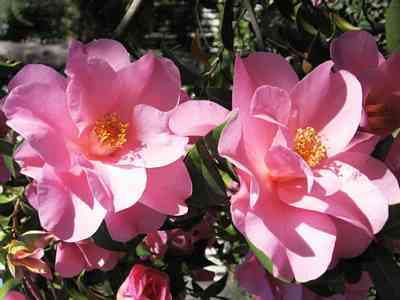 Camellias-7