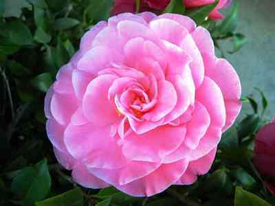 Camellias-2