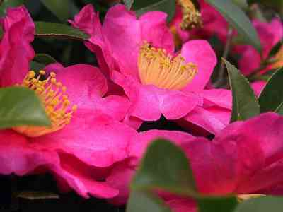 Camellias-3