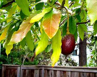 Avocado-avocado_tree